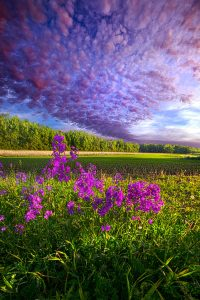 horizon purple flowers