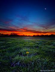 horizons single flower red dawn