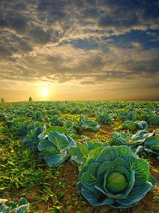 horizons cabbage-phil-koch