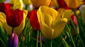 horizons tulips-phil-koch
